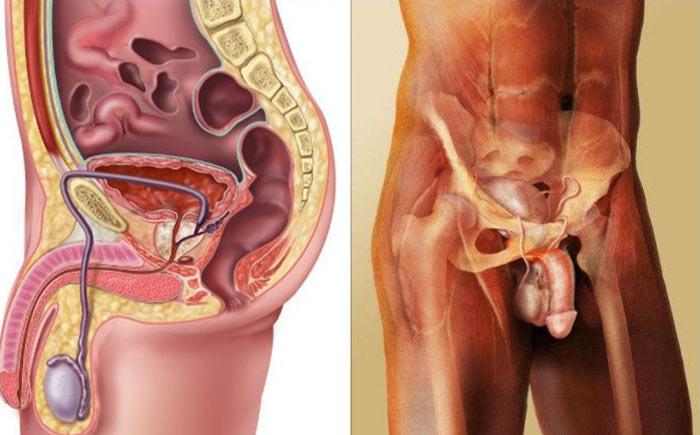 آناتومی دستگاه تناسلی مردان